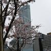 「てんしば」の桜が見頃だった