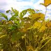 菜種の播種をしたり、大豆の畦畔の草刈りをしたり、子別れを聴いたり