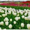 綺麗なチューリップを眺めてほっこり♡せんだい農業園芸センター「みどりの杜マルシェ vol.4」へ!
