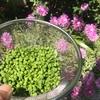 5月の緑道、ジューンベリーと実山椒の収穫
