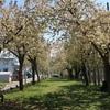 珍しい黄桜の並木が楽しめる十日町市「黄桜の丘公園」