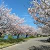 愛知に緊急事態宣言の日の桜