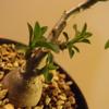 Pachypodium succulentum 実生株⑤
