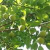 収穫した梅でウイスキー梅酒