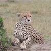 世界一周105日目前編 ケニア(38) マサイマラ国立公園2日目 〜地上最速の動物・チーターに遭遇!〜