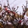 一日一撮 vol.474 丸亀高校門前で梅の芽吹きを知る