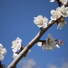 和歌山で梅を見るなら岩代大梅林がオススメ