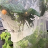 シャインビワマスカットと名付けた枇杷の木に美味しいビワの実がなりました💛