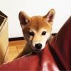柴犬日記  「噛む」「吠える」の予防方法