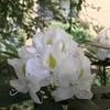 ご近所に恒例のバラのプレゼントへ 国際バラとガーデニングショウの前売りチケット購入
