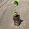 ペットボトル家庭菜園!折れた枝豆さん、救出できなかった…