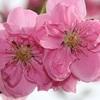 春・桃と雪柳の花が満開!