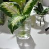 ディフェンバキア水挿し18日目(Dieffenbachia・水耕栽培・増やし方)