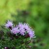 雲海を見下ろす「伊吹山」《#6》 ― 登山道を彩る花と虫たち ―
