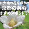 夏に大輪の花を咲かせる、京都の芙蓉(フヨウ)おすすめスポット5選