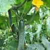 大量の自家栽培キュウリをいろいろな料理で食します