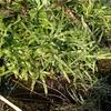 Lygodium japonicum var. microstachyum