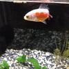 金魚と砂利
