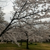 春の便り「桜と菜の花」と田舎暮らし移住支援「鳥取編」