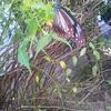旅する蝶「アサギマダラ」がお庭にやって来た?