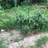 初心者の家庭菜園 カボチャが採れました