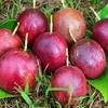 関むぎパッションフルーツが収穫の最盛期(8月下旬)を迎えました!
