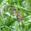 草の中に飛び込むオオヨシキリ