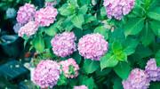 ぶらフォト #115 或るどしゃ降りの雨の日の紫陽花編