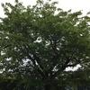 5-14   早咲き桜の木の今…