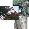 サルスベリとミソハギを鎌倉のお寺とお店で見かけました.夏を代表する花木と代表的な盆花: 見た目は全く違うのに---植物としてはとても近い属に分類されていました.