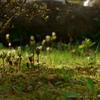 ある植物についてひとりで静かに書く!その名もヒトリシズカ