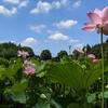 【プライベート】茨城県古賀市の古賀公方公園の大賀ハスが美しかった