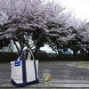 まだ3月なのに桜が散り始めた… 平日の夕方に近所の公園で花見を楽しむ