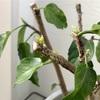 【ハイビスカス】強剪定したはずの枝からもう芽吹き!冬に芽吹いた場合の対処法は?