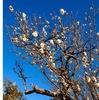 梅が早くも満開 鎌倉鶴岡八幡宮
