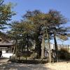 福島正則公が植えたと伝えられています広島県天然記念物「正伝寺のクロガネモチ」です。