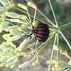 アカスジカメムシ増殖中!            ~The red stripes stink bug is multiplying!