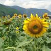 熊野川町の「ひまわり畑」