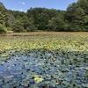極楽寺山、大蛇の伝説があります蛇の池の睡蓮です。