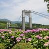 風の吊り橋とアジサイ