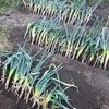 【市民農園で野菜作り!】8月レポート!松本一本ネギ 植え替え大作戦!