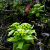 春の山菜一番乗り『ふきのとう』で天ぷら