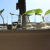 ベンガレンシス  剪定後の枝【根の成長記録】エアコンなど有り無し比較 ジフィーポットは高性能でオシャレ♪