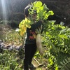 冬大根のシーズン到来!したので収穫する。クックパッドのレシピは16万品('Д')とかカオス