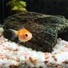 ピンポンパールを飼い始めたのでどんな金魚なのかご紹介!