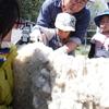 暮らしの楽校~衣編「羊の毛刈り体験」【活動レポート】