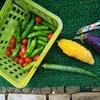 庭の夏野菜もじょじょに終わりへ向かってます
