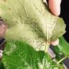【水耕栽培】オクラの害虫処理に農薬を買う