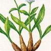 聖書の植物(8)ー「ナルド」