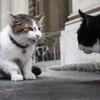 今度はイギリス首相官邸のネコが「権力争い」を繰り広げる